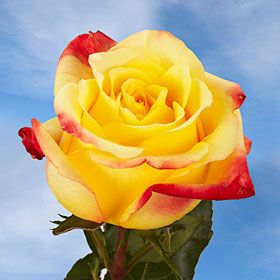 Yellow Roses With Red Tips Global Rose Rose Yellow Rose