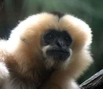 Life Is Gibbon Good Animals Images Gibbon Types Of Monkeys
