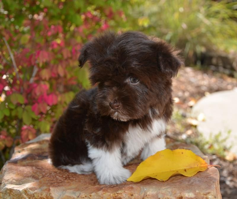 Teacup havanese puppies for sale in california