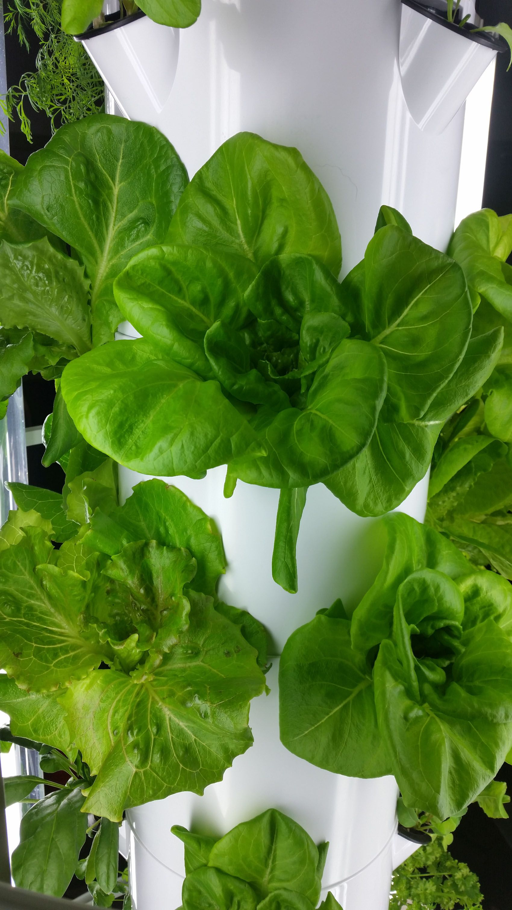 tower garden bibb lettuce leafy greens grown indoors in the