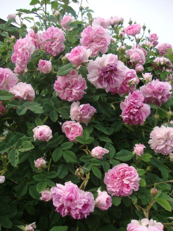 Pin Auf Roses