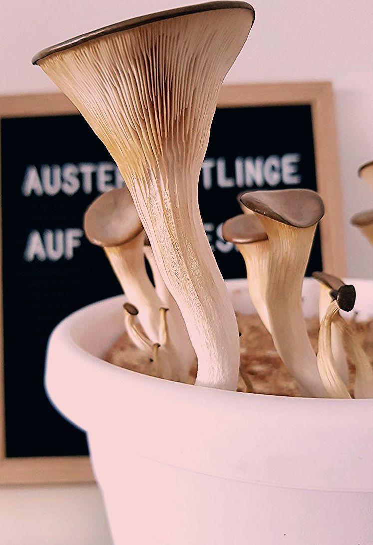 Photo of Austernpilze auf Kaffeesatz selber züchten | DIY – grüneliebe