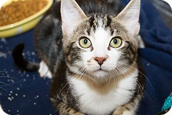 My Name Is Belle I M A Female Domestic Shorthair Kitten Come Visit Me At Petsmart In The District Tustin Kitten Adoption Pet Adoption Kittens