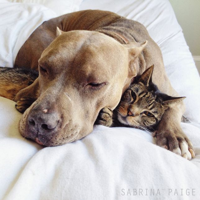 Lessons In Cuddling Pit Bulls And Tabby Cat Show Us How It S Done