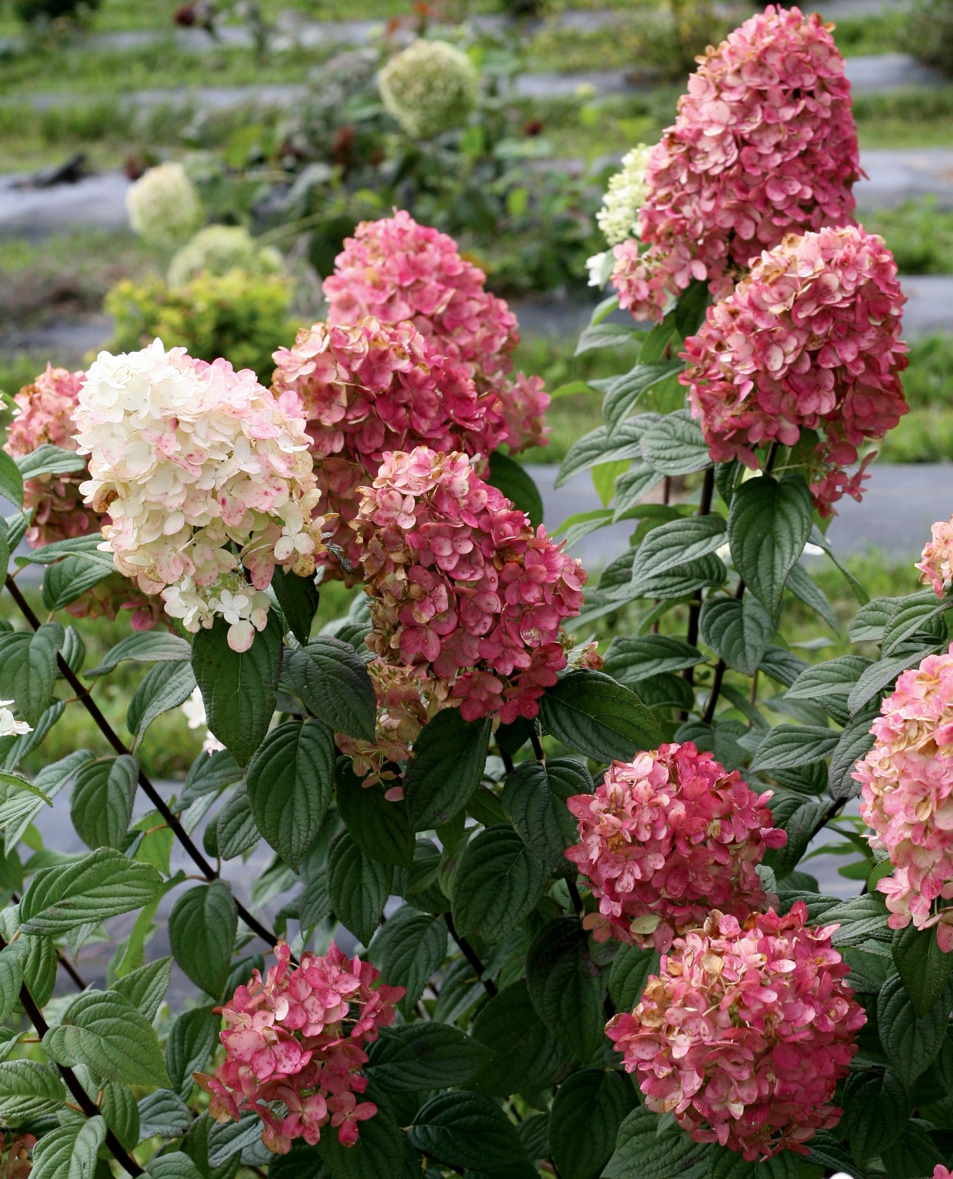 Fire Light Hardy Hydrangea Monrovia Fire Light Hardy