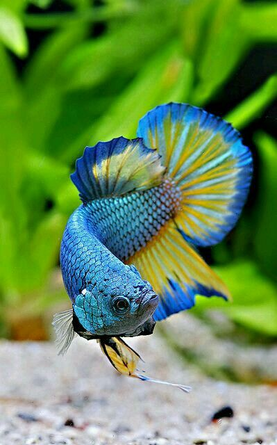 Pin By Rapee Kuiprem On Peces Tropicales Animals Betta Fish Tropical Fish