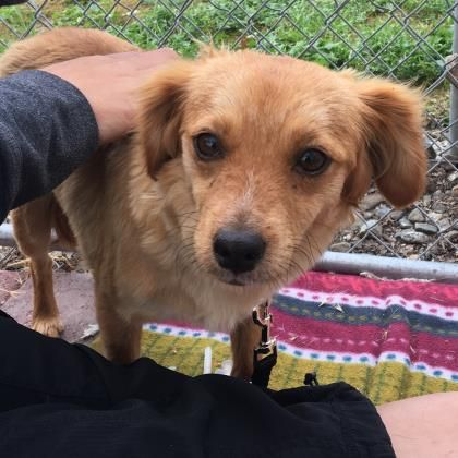 Goldie Urgent Valley Oak Spca In Visalia Ca Adopt Or Foster
