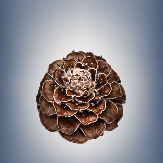 Svjetlana Tepavcevic Visual Artist | Means of Reproductions series, color images of seeds and seed pods