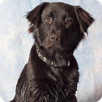 Gilbert, AZ - Flat-Coated Retriever/Australian Shepherd Mix. Meet Boone, a dog for adoption. http://www.adoptapet.com/pet/13680994-gilbert-arizona-flat-coated-retriever-mix