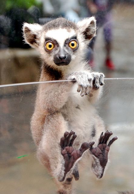 Ring tailed Lemur (in Korea) - photo by IN CHERL KIM (floridapfe), via Flickr