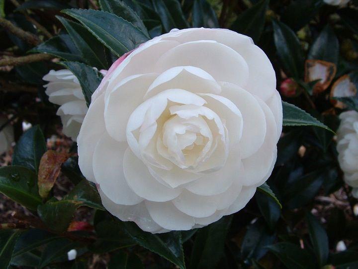 Camellia Japonica Snow Ball White Double Camellia Flowers Evergreen And For Sale Online Uk Flores Bonitas Flores Exoticas Flores