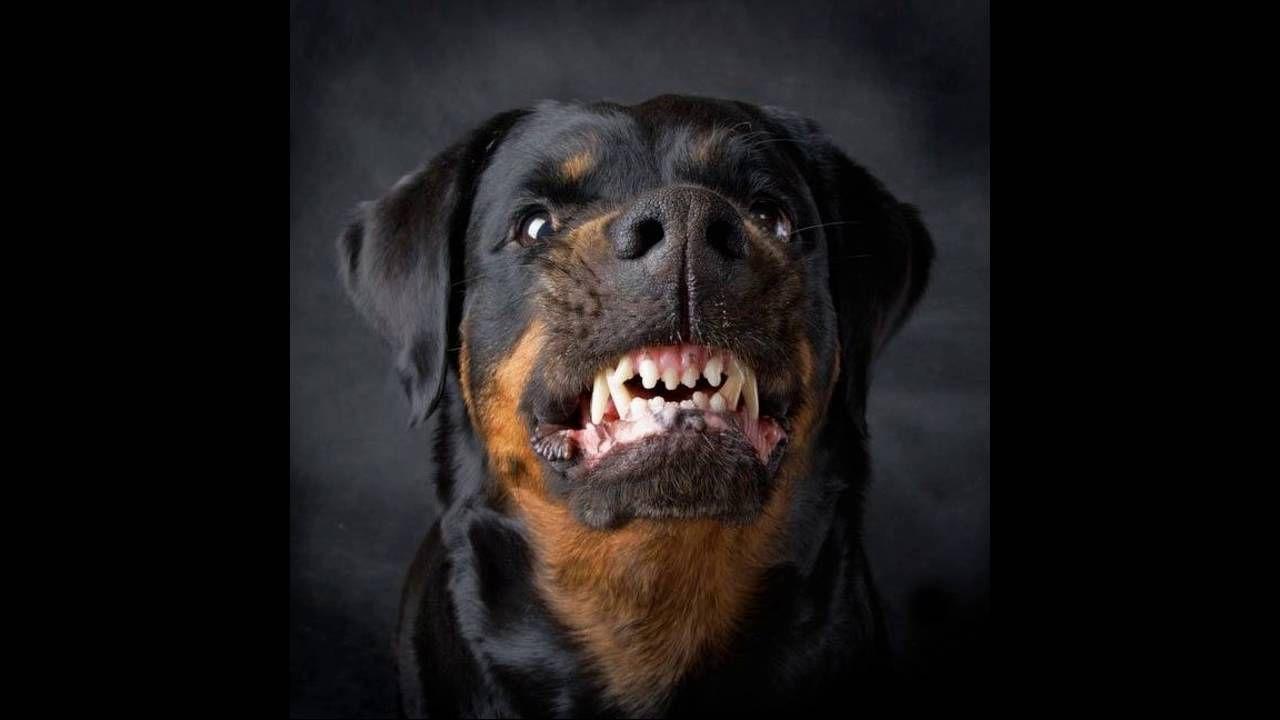 Image result for dog snarling reference pinterest wolf