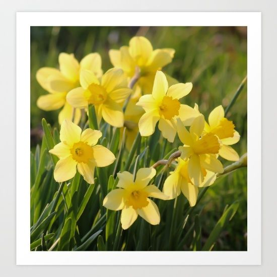 Yellow spring daffodil Photography - $27