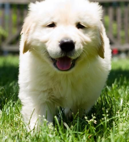I Love Golden Retrievers So Precious Golden Retriever