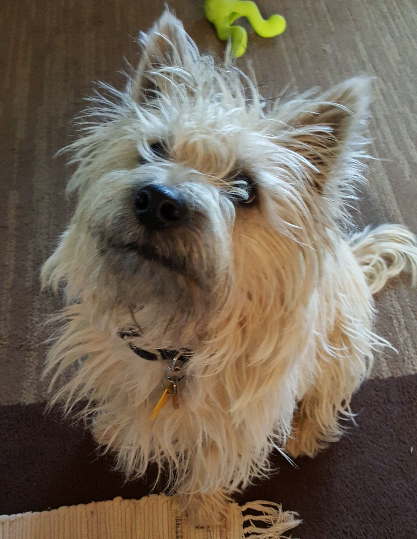 Pin By Tiffany Jungers On Crane Terrier Cairn Terrier Pitbull