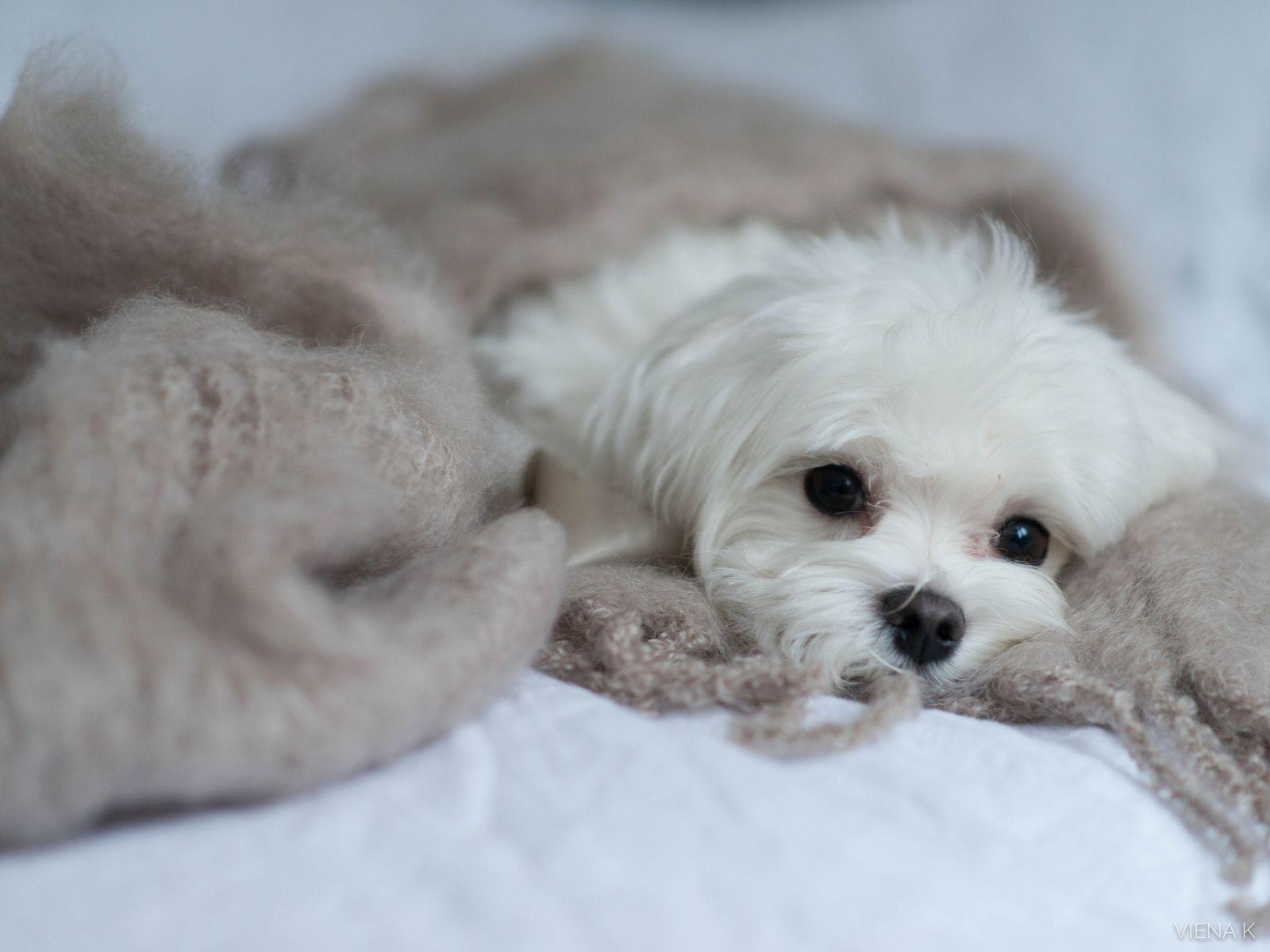 Luukkuja Viena K 17 Balmuirin Pehmeaa Maltese Puppy Teacup Puppies Maltese Maltese Dogs