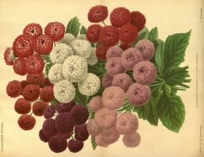 v.32 (1885) - L'Illustration horticole : - Biodiversity Heritage Library