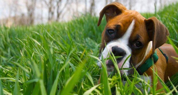 .- Boxer Dieser Hund hat eine interessante Geschichte als Fleischer Helfer, der die Rinder in den Schlachthof in Deutschland getrieben hat. Sie sind eine kurzhaarige, mittelgroße Rasse, die 55 bis 71 Pfund schwer wird. Sie haben spielerische Possen, die ein Lächeln auf jedes Gesicht zaubern werden. Sie wurden auch für Stierhetze verwendet. Dieser kurzhaarige Hund bedarf nur wenig Pflege und ist ein toller und treuer Familienhund.
