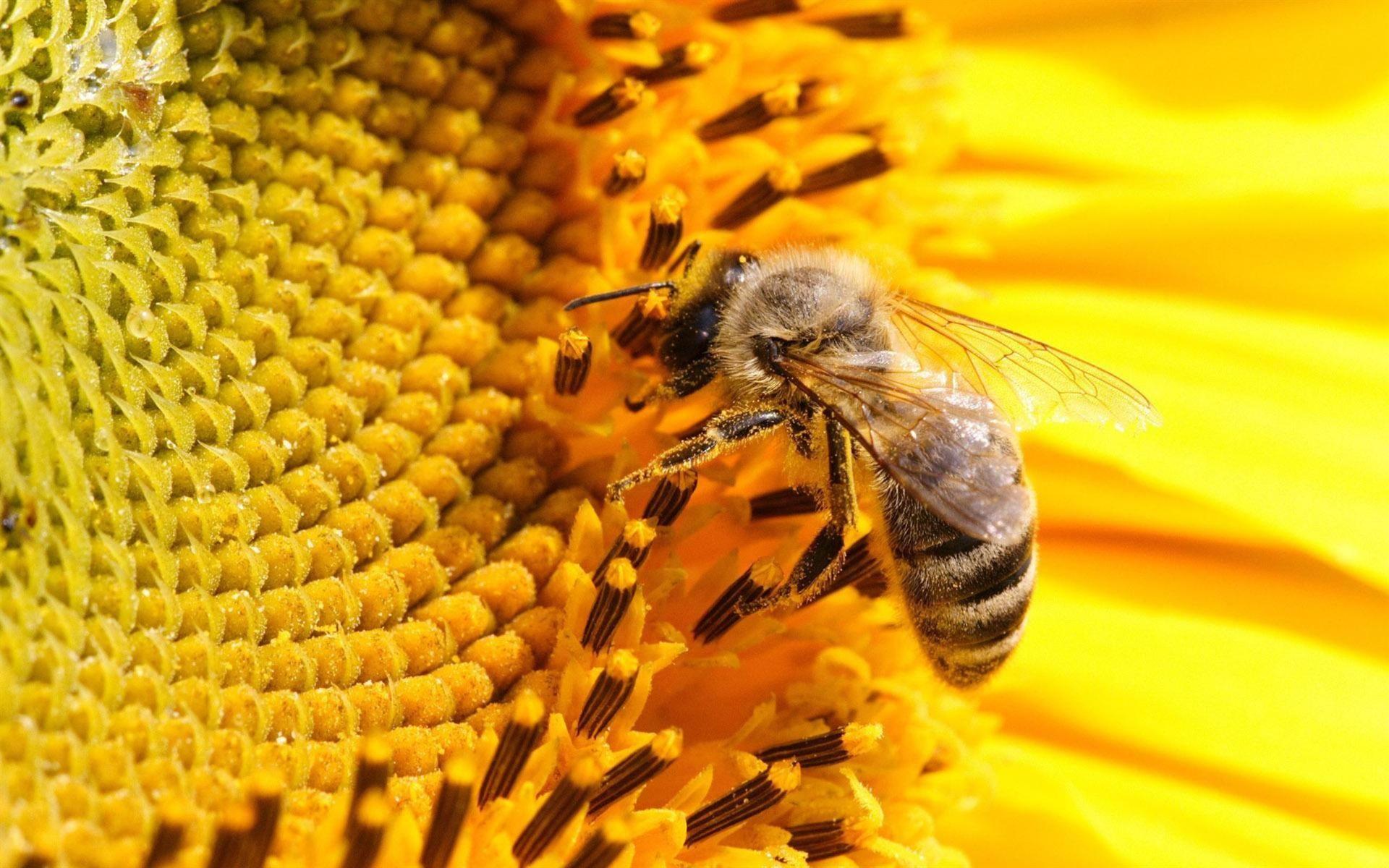 honey bee on flower Google Search Bee on flower, Bee