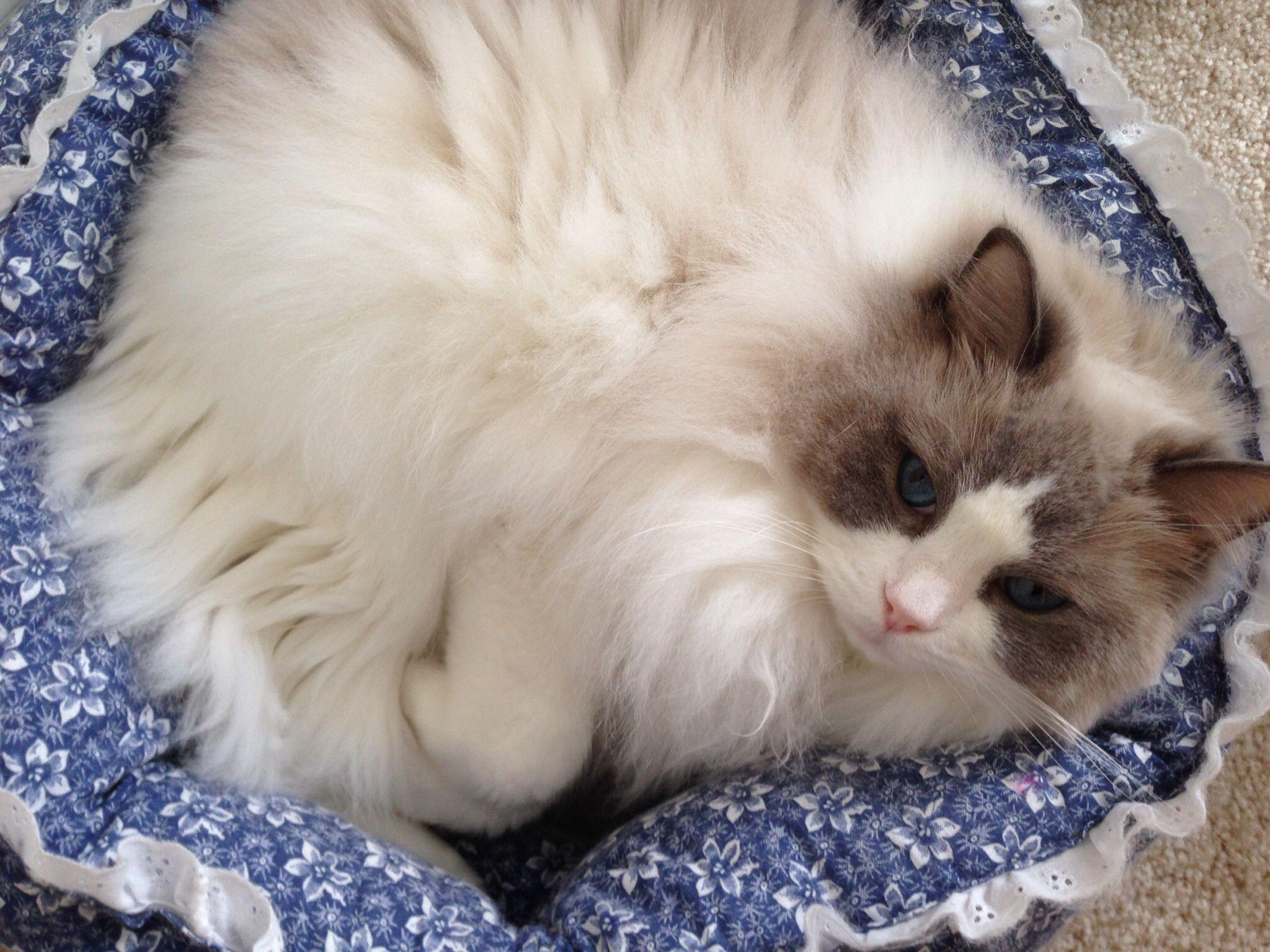 Ragdoll Cat Jazzpurr relaxing... Ragdoll cat, Pretty