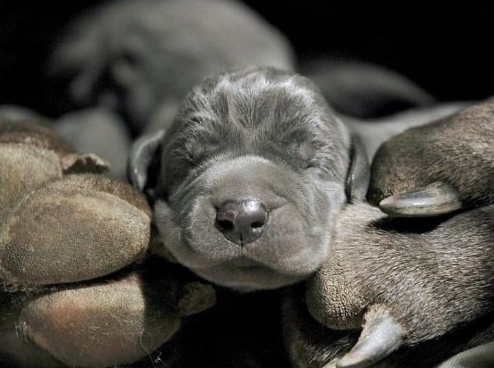 Pin By Deanna Hallett On Dogs Dane Puppies Great Dane Puppy Baby Dogs