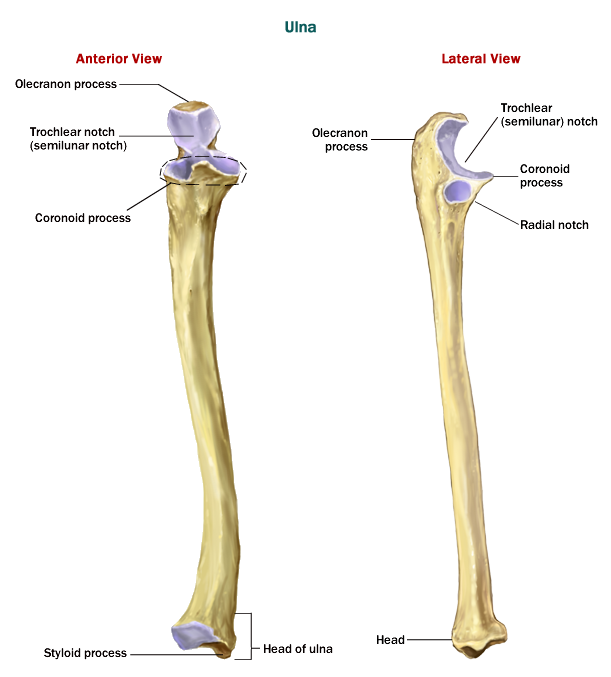 Human Body Bone Ulna Pesquisa Google Anatomy Pinterest Human