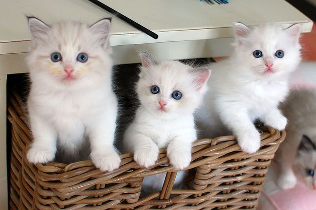 Rag Doll Kittens For Adoption Kitten Adoption Cute Cats Kittens And Puppies