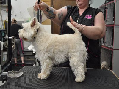DEETRA West Highland White Terrier Westie • Adult • Female