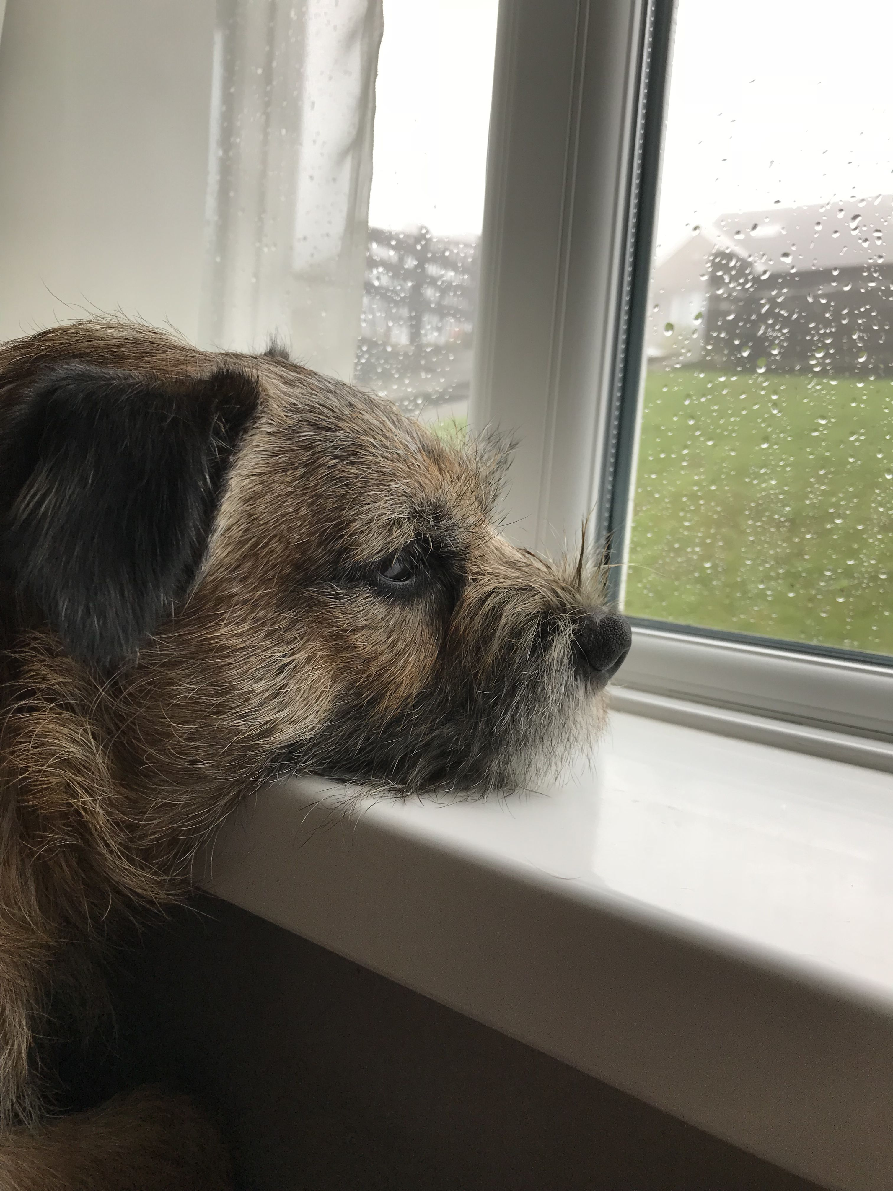 Border Terrier Benji Waiting For Dad To Come Home From Work Border Terrier Brown Dog Terrier