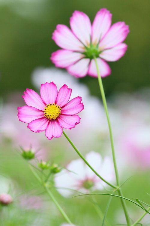 cosmos jardins pinterest fleur quatre saisons et les fleurs. Black Bedroom Furniture Sets. Home Design Ideas