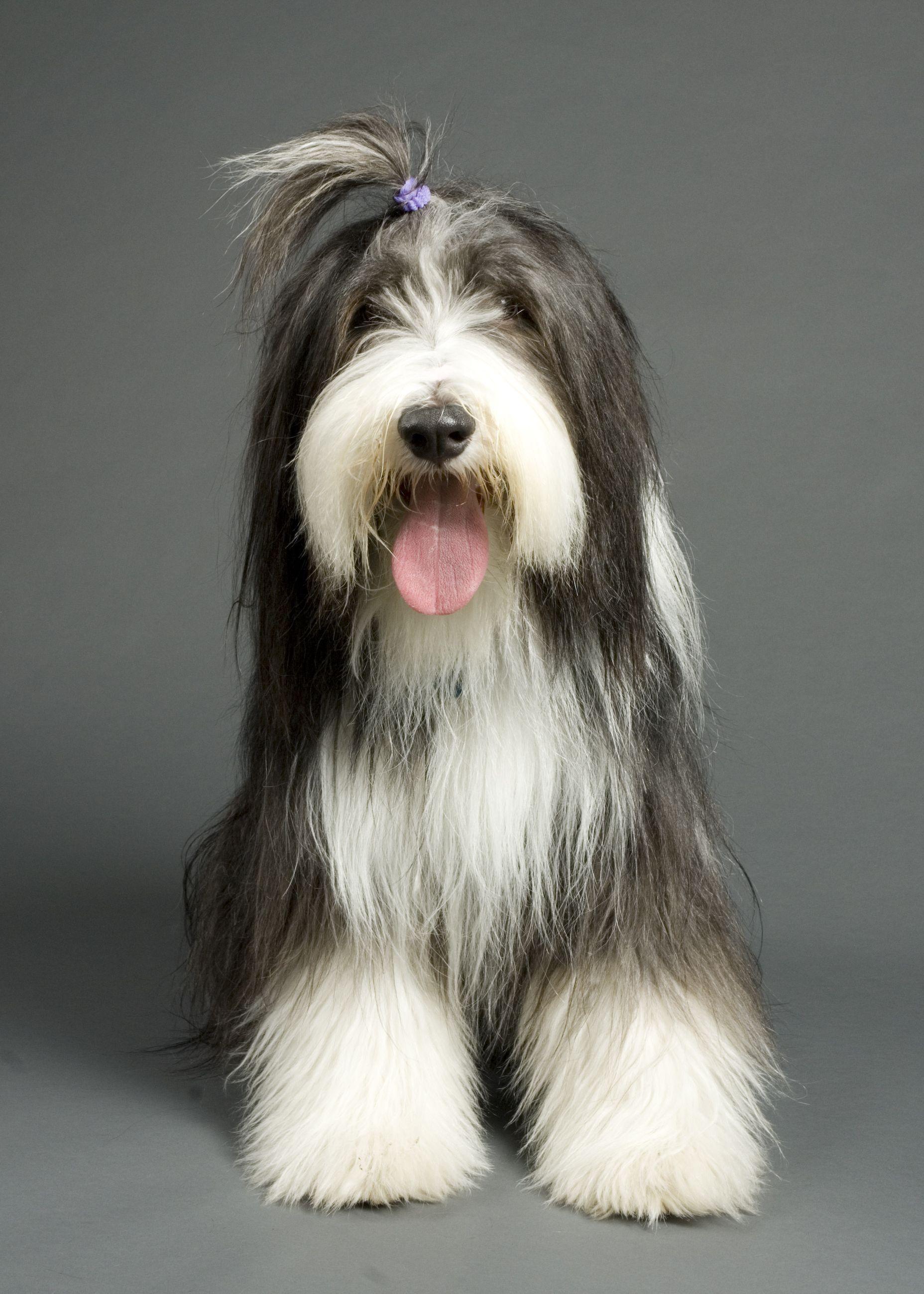 Casey Our Sweet Beardie Boy Bearded Collie Puppies Dog Bearding Bearded Collie