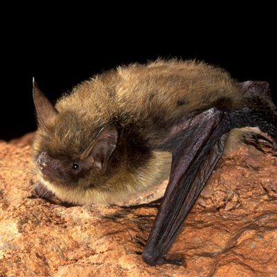 """""""""""Bat Conservation International is extremely disappointed in the final 4d rule for the northern long-eared bat"""" says Andrew Walker, BCI Executive Director."""""""