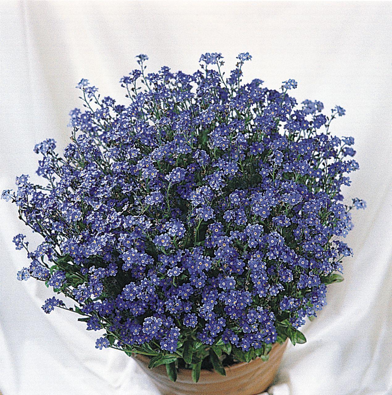 Myosotis Sylvatica Victoria Blue Forget Me Not Usda Zone 3 9 A Spring Flowering Favourite Forget Myosotis Forget Me Not Forget Me Not Perennial Vegetables