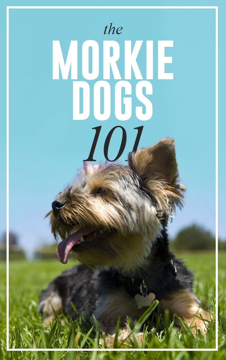 Morkie Dogs 101 | Morkie Dogs | Pinterest | Dog, Morkie puppies and Pup