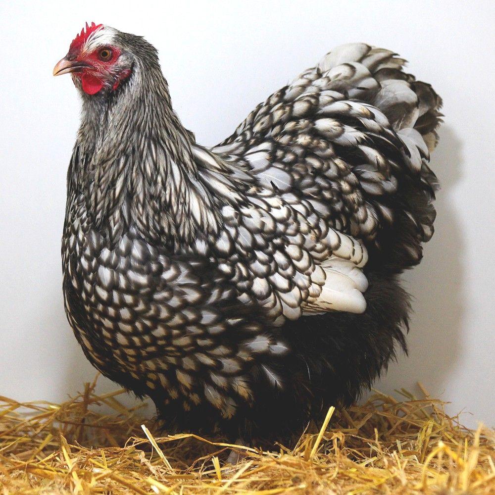 poule orpington argent e la poule orpington est une magnigique poule d 39 ornement tr s. Black Bedroom Furniture Sets. Home Design Ideas