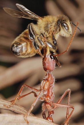 Bulldog Ants Gallery Photo Artropodes Animais Formigas