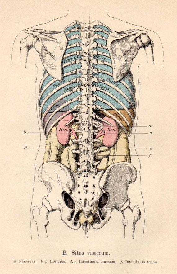 1901 Anatomy Antique Print Vintage Lithograph Situs Viscerum
