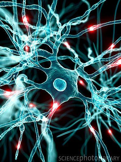 Nerve cells, artwork �...