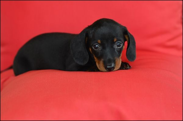Tiny Dachshund Puppy Dachshund Puppies Kittens And Puppies