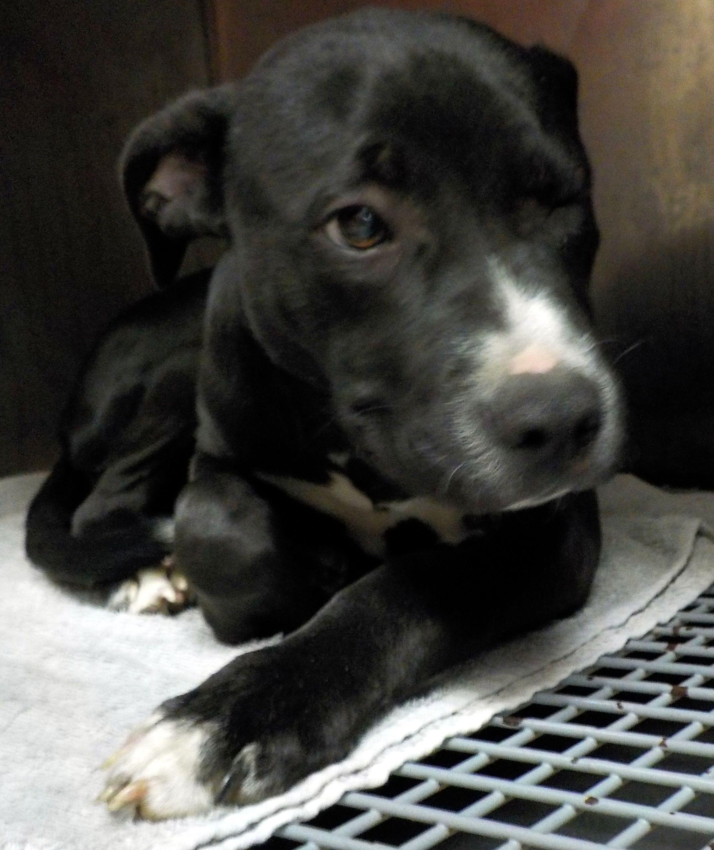 Adopt 37 Ben/ADOPTED on Pitbull terrier, Adoption, Stark