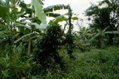 jamaica maroon ambush