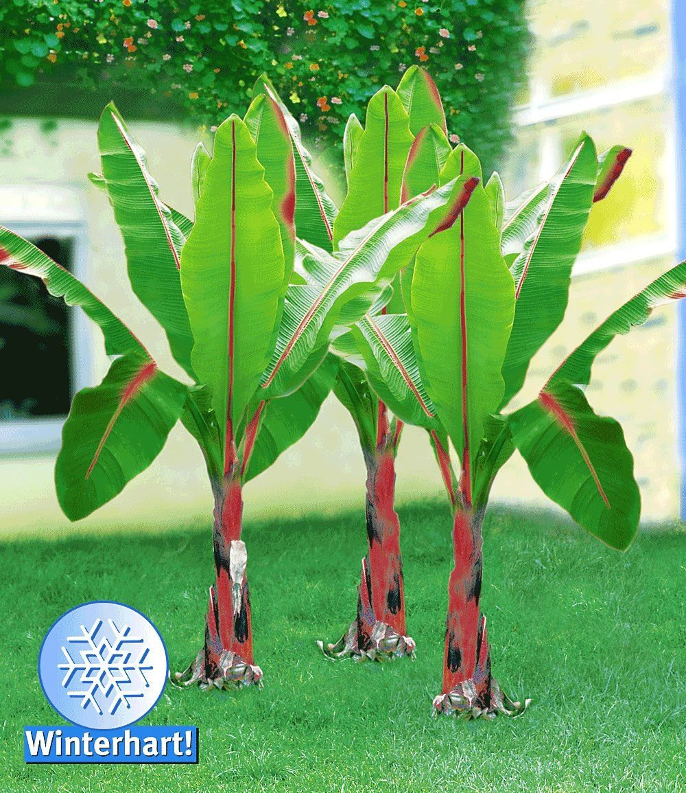 Winterharte Banane Rot Pflanzen Pinterest Winterhart