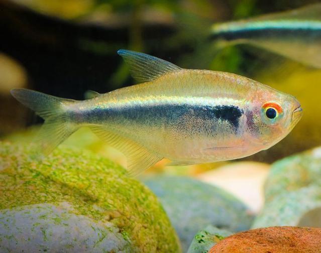 Black Neon Tetra Neon Tetra Black Neon Cool Fish