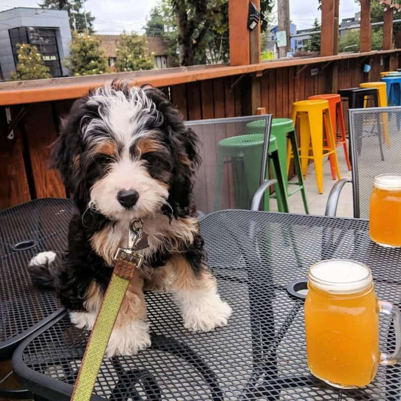 Mini Bernedoodle Sitting On The Table Next To Beer Mini