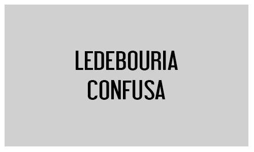 Ledebouria confusa