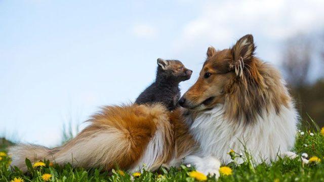 Perra Adopta A Un Cachorro De Zorro Tras La Muerte De Su Madre En Accidente De Tráfico