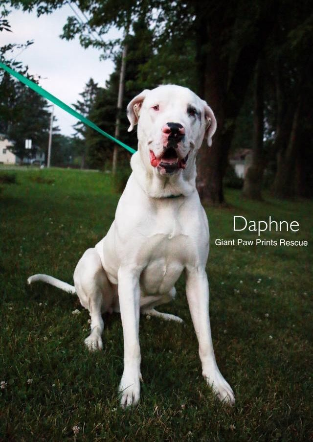 Dogo Argentino Dog For Adoption In Valparaiso In Adn 674100 On