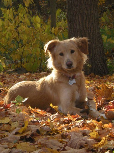 Golden Border Collie Cute Dog Mixes Dog Crossbreeds Hybrid Dogs