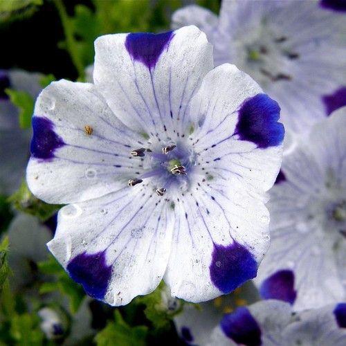 Five Spot Flower Seeds Nemophila Maculata 50 Seeds Flower Seeds Rare Flowers Unusual Flowers