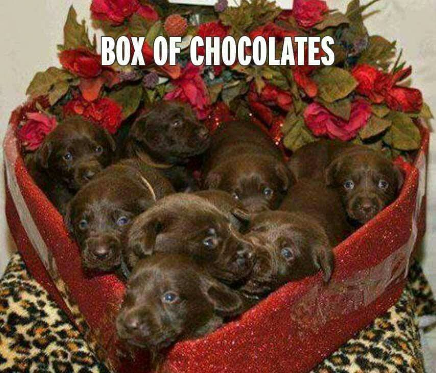 Perfect gift for Valentines Day. Chocolate lab puppies